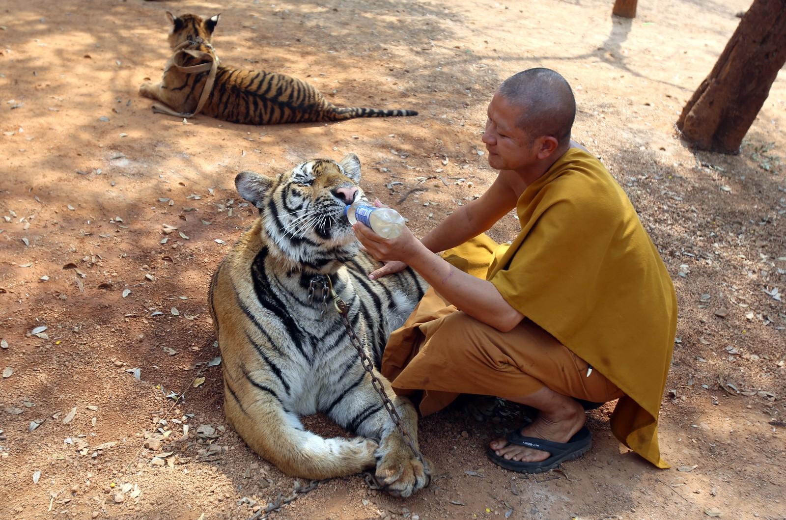En buddist-munk gir vann til en av tigrene i tigertempelet, 12. februar, 2015.