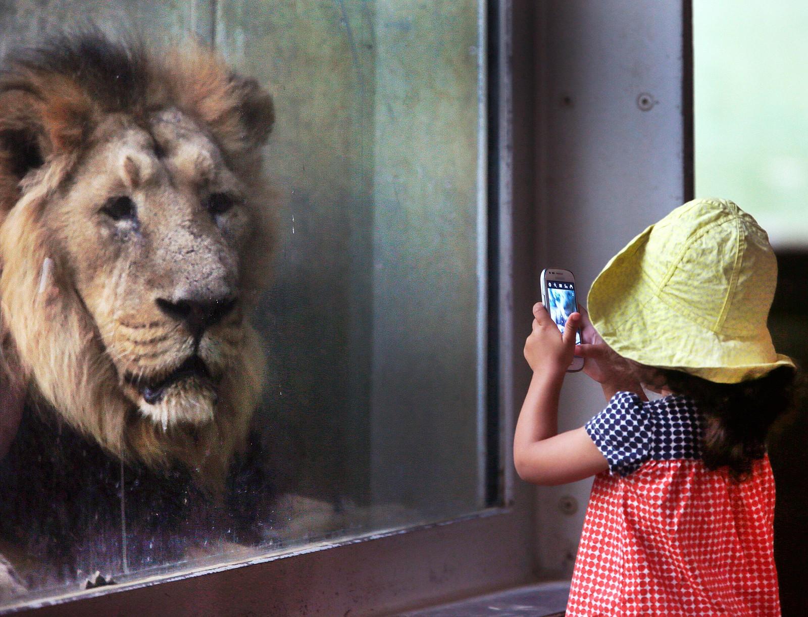 Ei lita jente tar bilde av en løve i dyrehagen i Frankfurt i Tyskland.