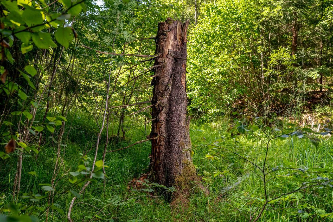 Bilde av en høy, død trestamme. Du ser den er spist på, og barken har begynt å falle av.
