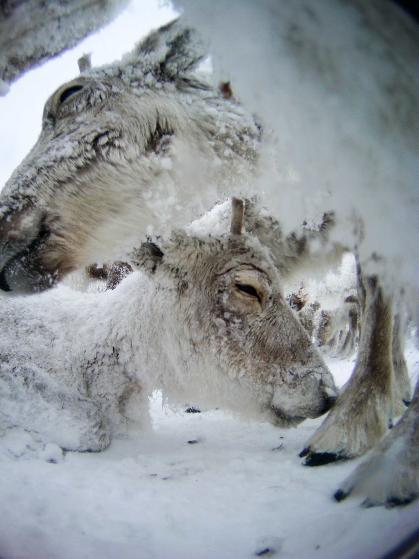 The picture shows two reindeer lying down in a snowstorm.