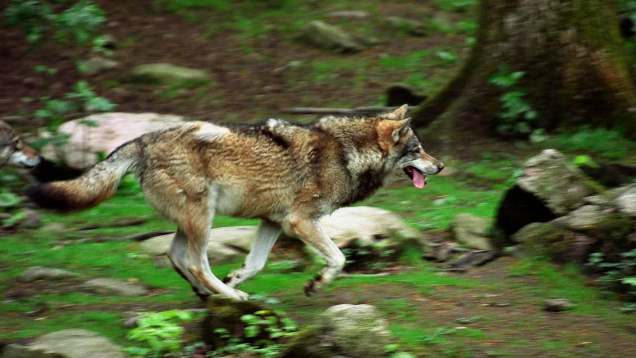 En ulv springer gjennom skogen