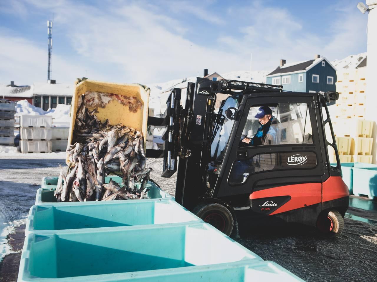 Arbeiderne på havna i Berlevåg tar imot fisk.