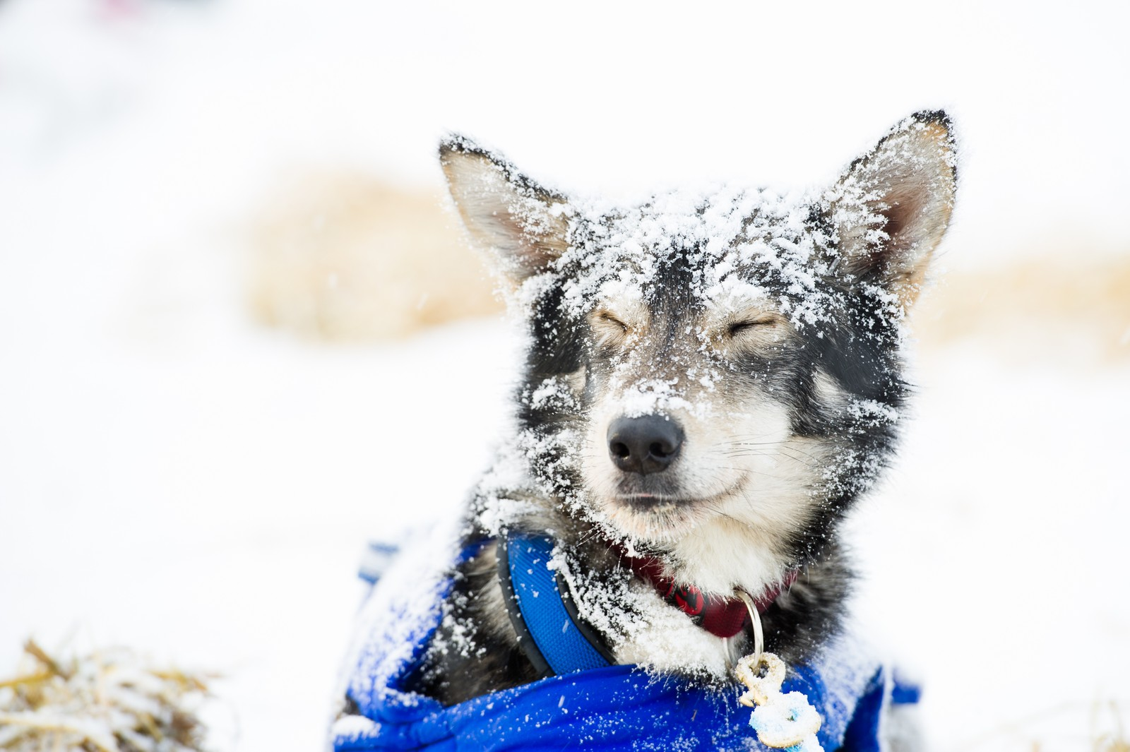 Over 1200 hunder deltar i årets Finnmarksløp.