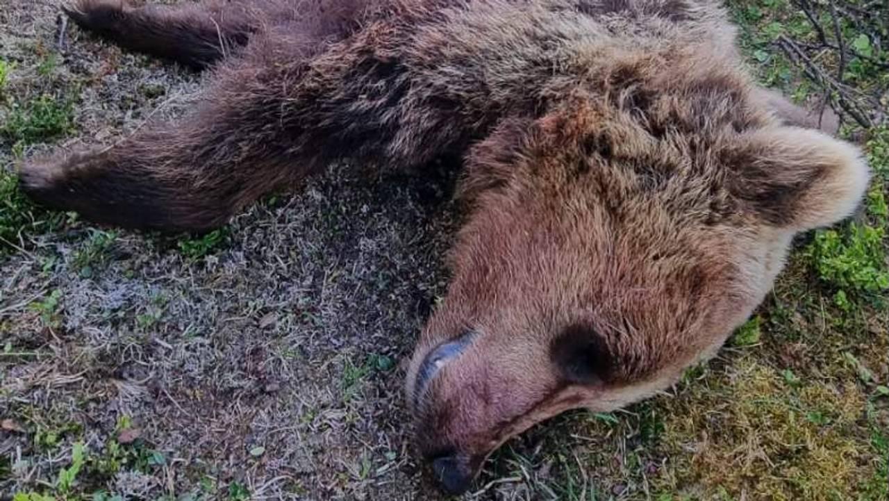 bjørn skutt i Vågå