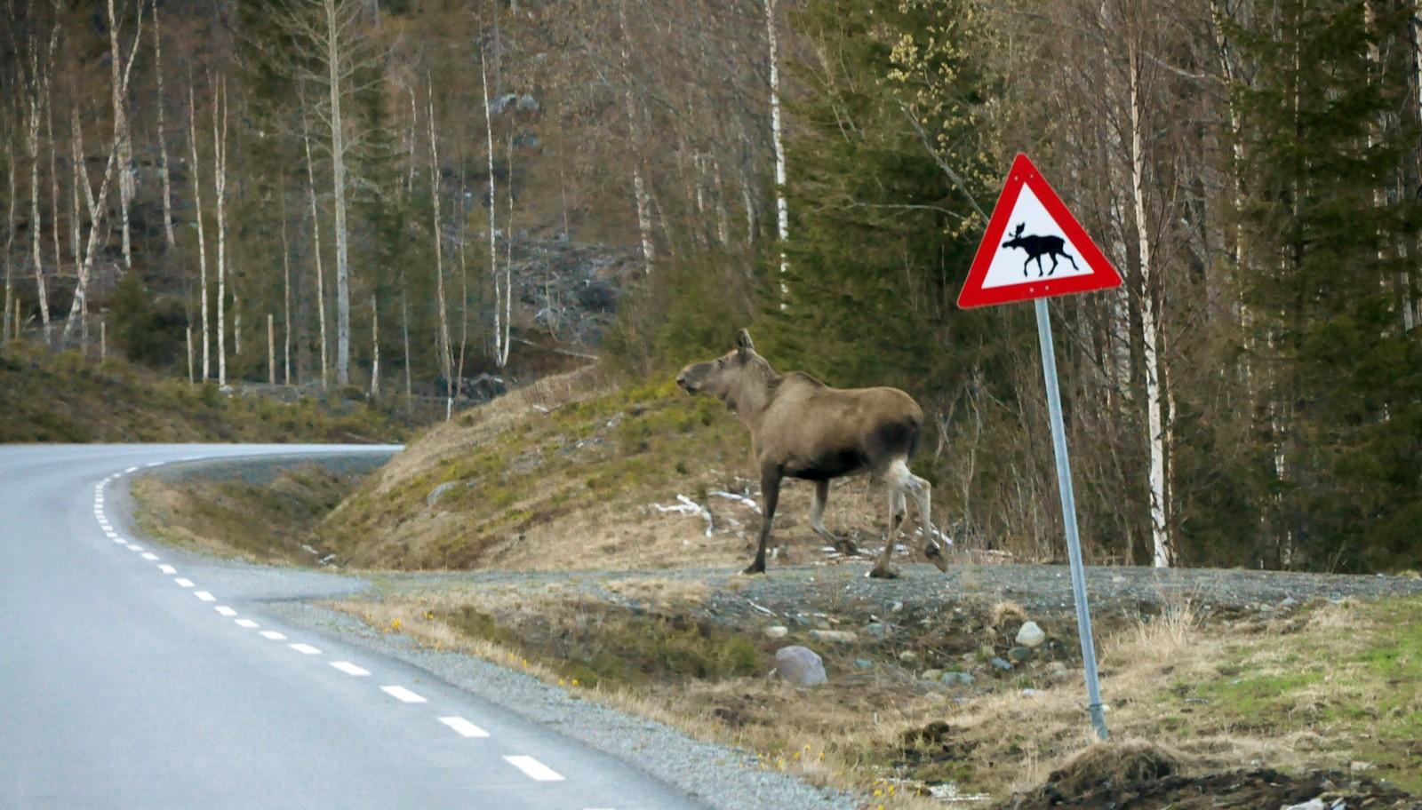Se opp for løpende elg-skilt i Lierne