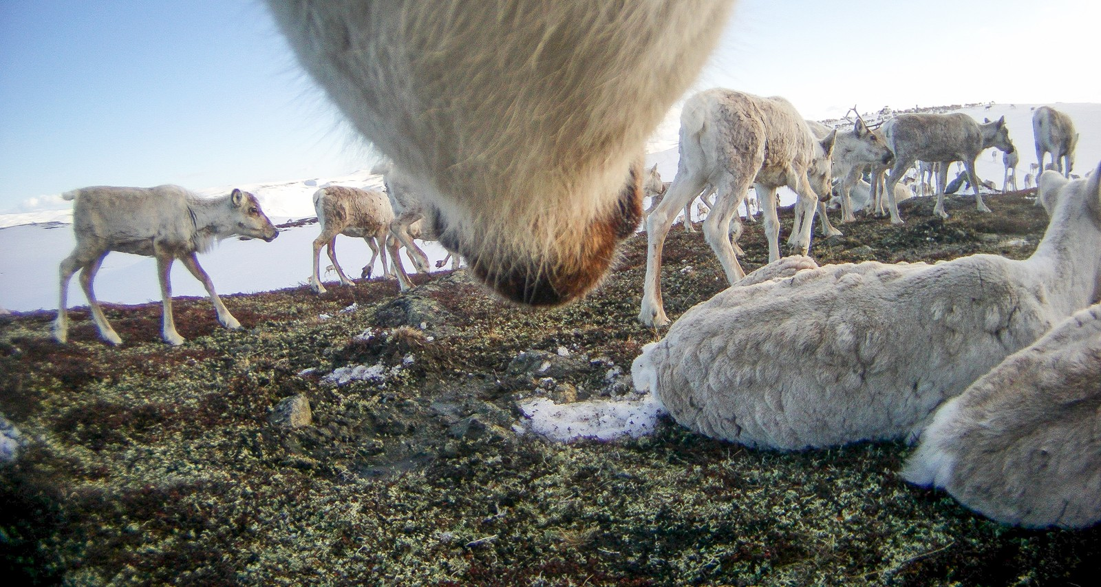A parasite — Hypodermatinae — lays its eggs in the fur of the reindeer, and after a few days a larvae is born. The larvae penetrates the skin of the reindeer and lives of the reindeer's blood and other fluids. The parasites can be seen as bumps on the reindeer, like in this picture.