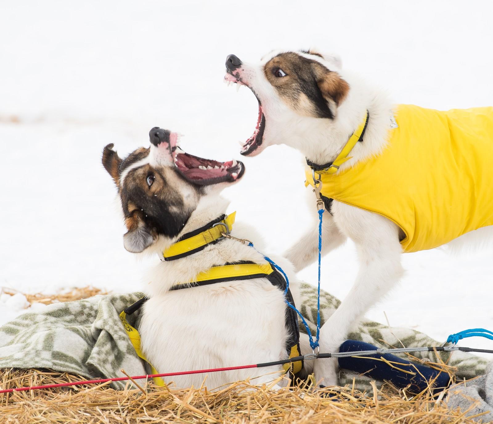 Rex (til høyre) setter Rocky på plass. Hundene til Niklas Rogne nøyde seg med å bjeffe og vise tenner - ingen ble skadd.