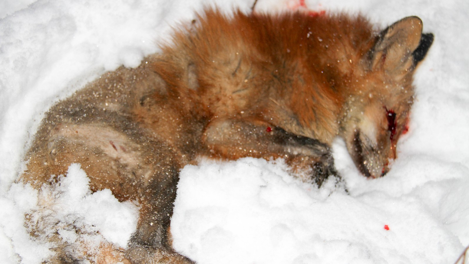 Fox attacks baby in Norway