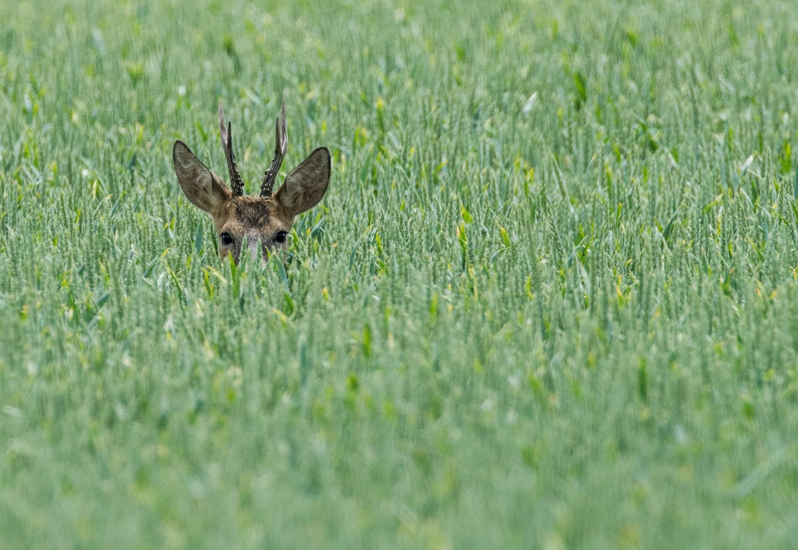 Hjort er hjort. Denne gransker fotografen i nærheten av Reitwein i Tyskland.