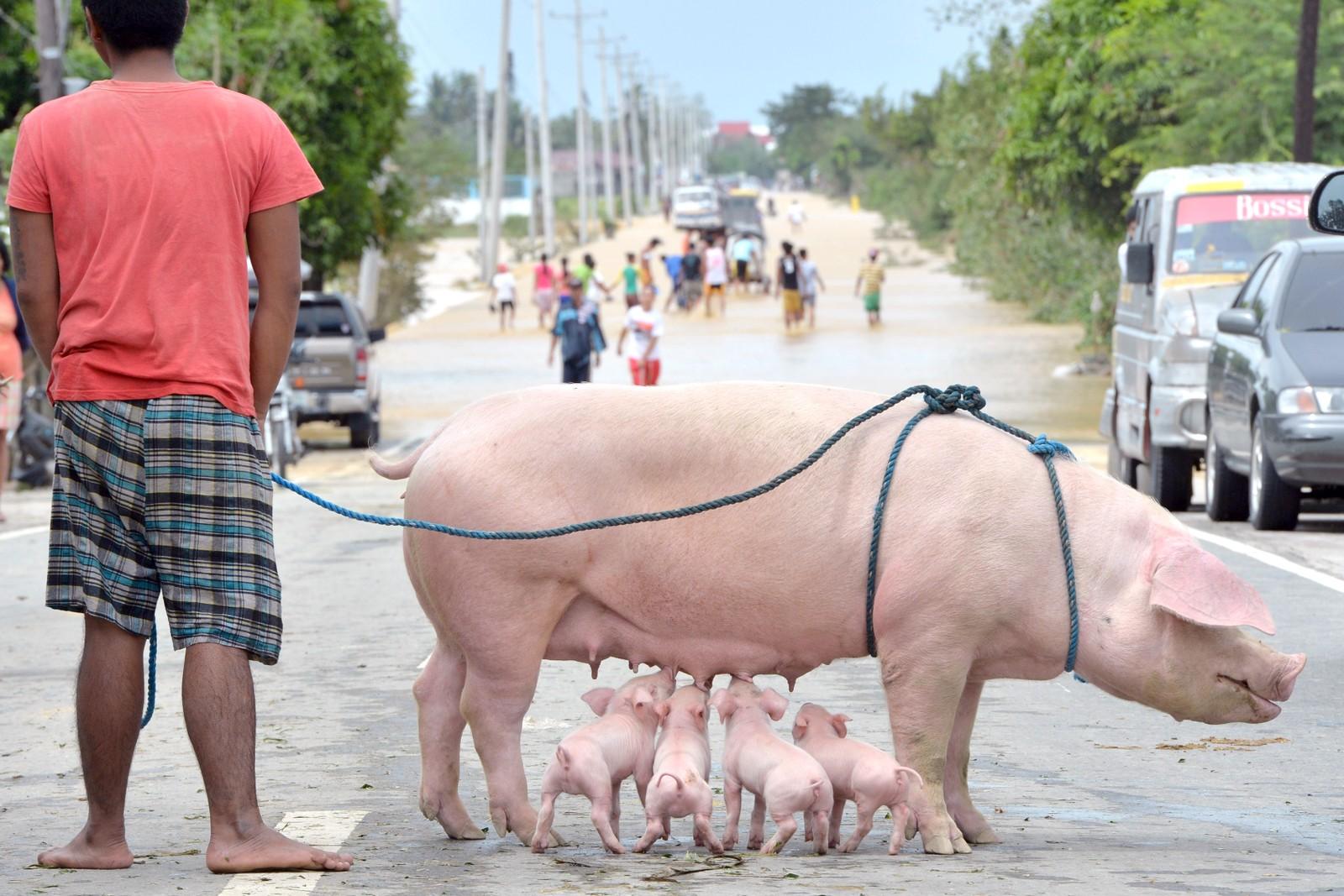 Fire grisunger slukker tørsten etter en strabasiøs ferd gjennom flomvannet i byen Santa Rosa, nord for Filippinenes hovedstad Manila. Tyfonen Koppu har jevnet mange hus med jorden og sendt tusener på flukt.
