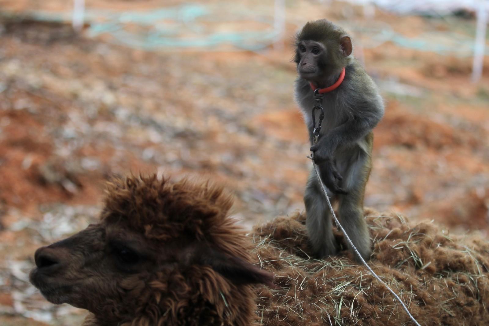 En ape stilles ut på en alpakka i en dyrehage foran fotograferende turister i forkant av det kineserne kaller apens år.