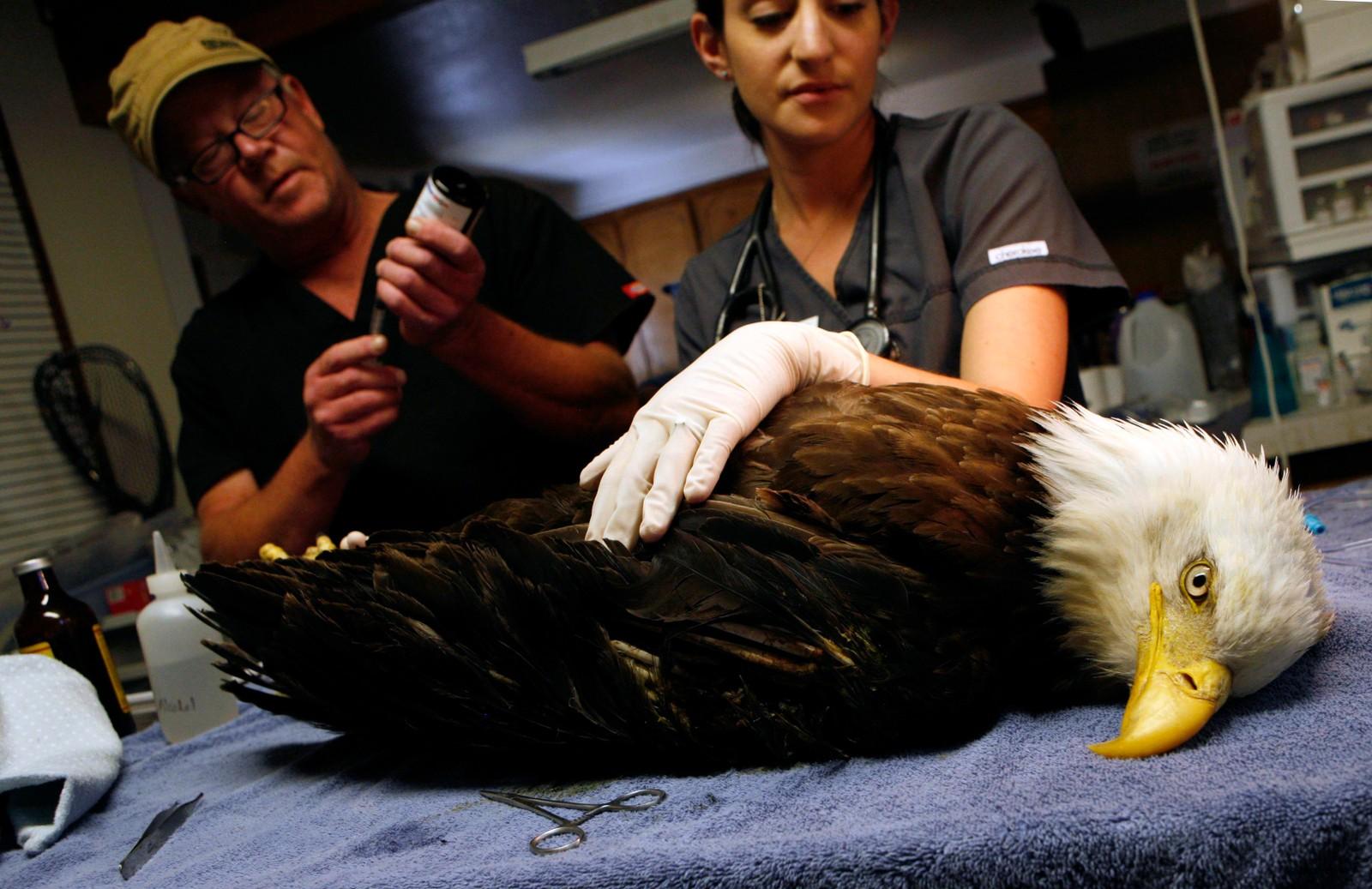 Veterinær Jeff Cooney (t.v) og veterinærstudent Laura Hardy (t.h) behandler en skadd hvithodehavørn ved High Desert Wildlife Rescue and Rehabilitation i Oregon, USA. Ørnen har skadet den venstre vingen sin.