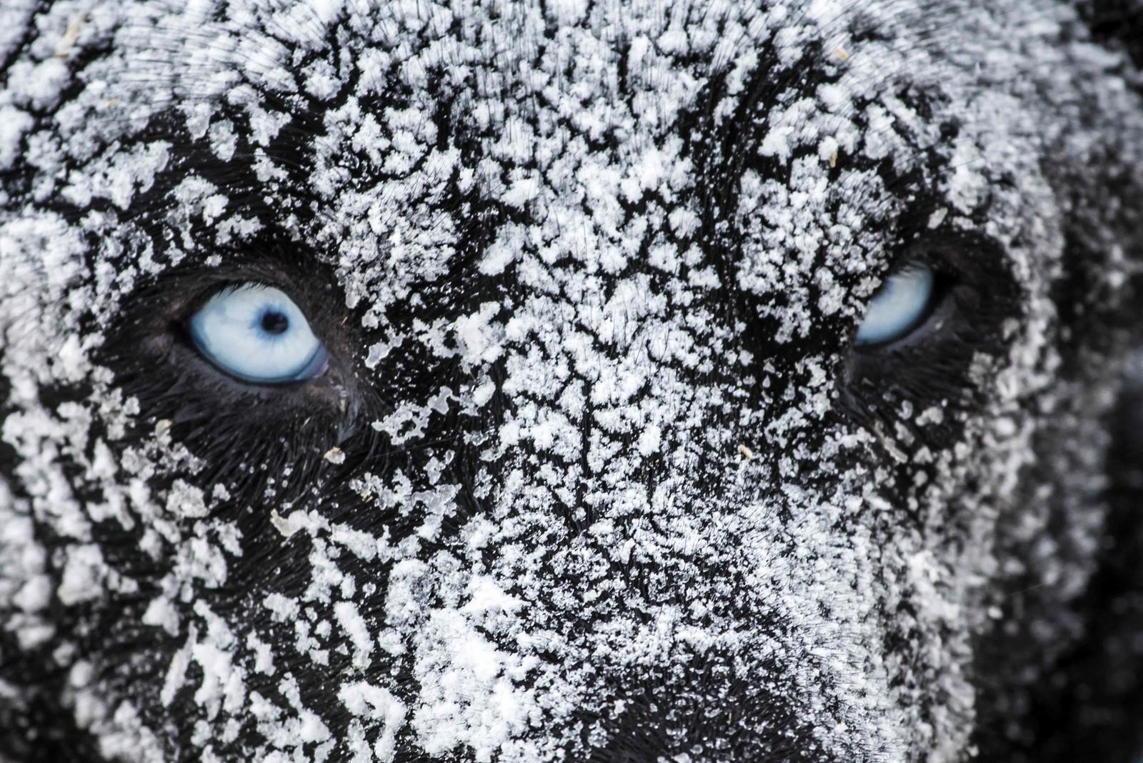 Denne hunden er helt hvit i pelsen etter å ha overnattet under åpen himmel under et hundekjøringsløp i franske Val Cenis.