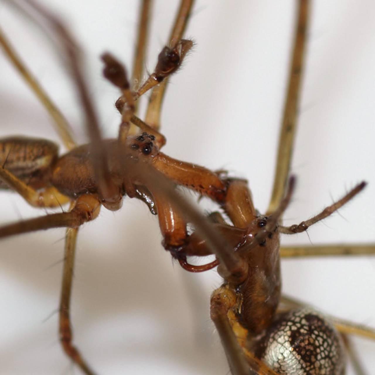 Etter endt paring løfter hannen begge palpene over hodet, løsner kjevegrepet, og dytter hunnen fra seg og over på ryggen.