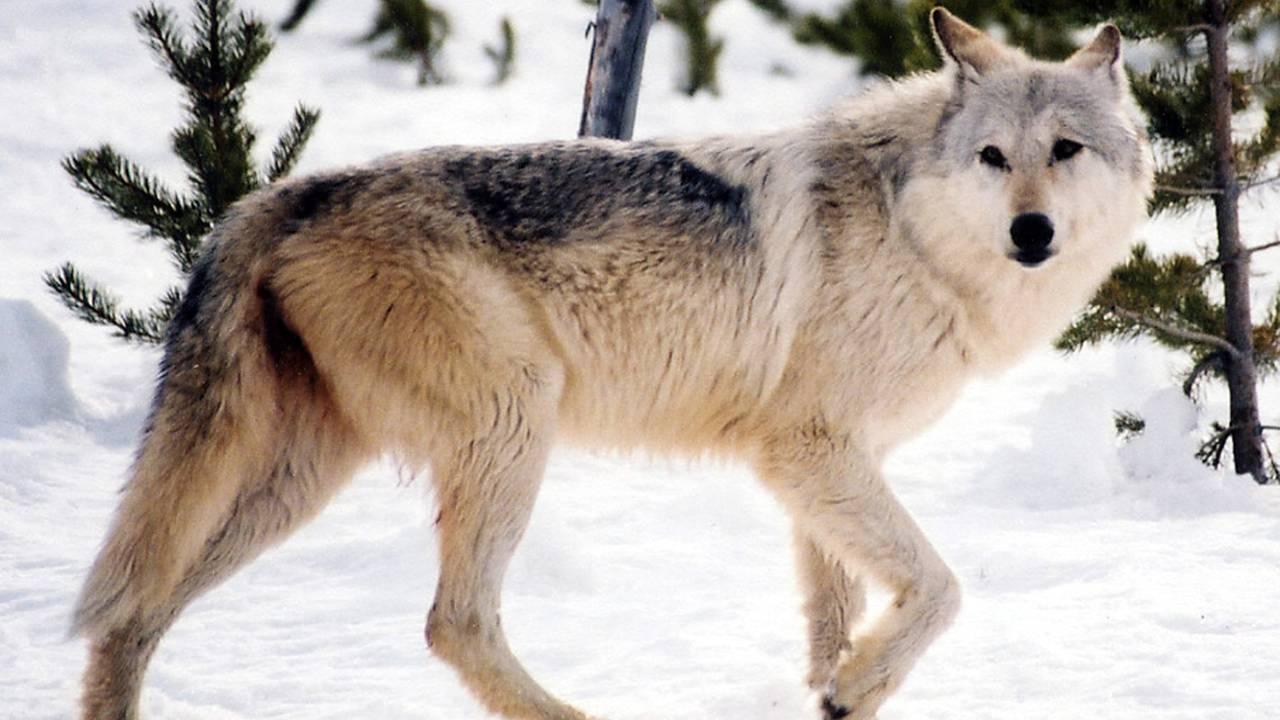 En ulv går på snøen