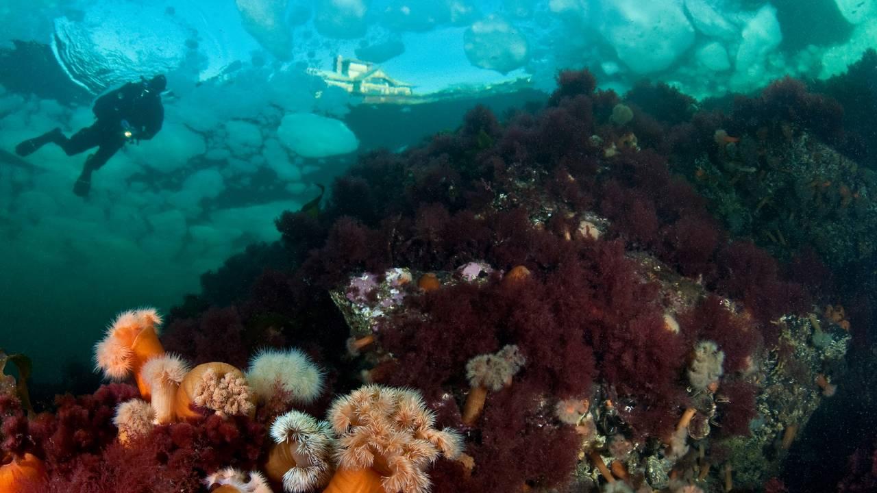 Fargerike planter på bunnen av Oslofjorden, en dykker og et hus skimtes i overflaten