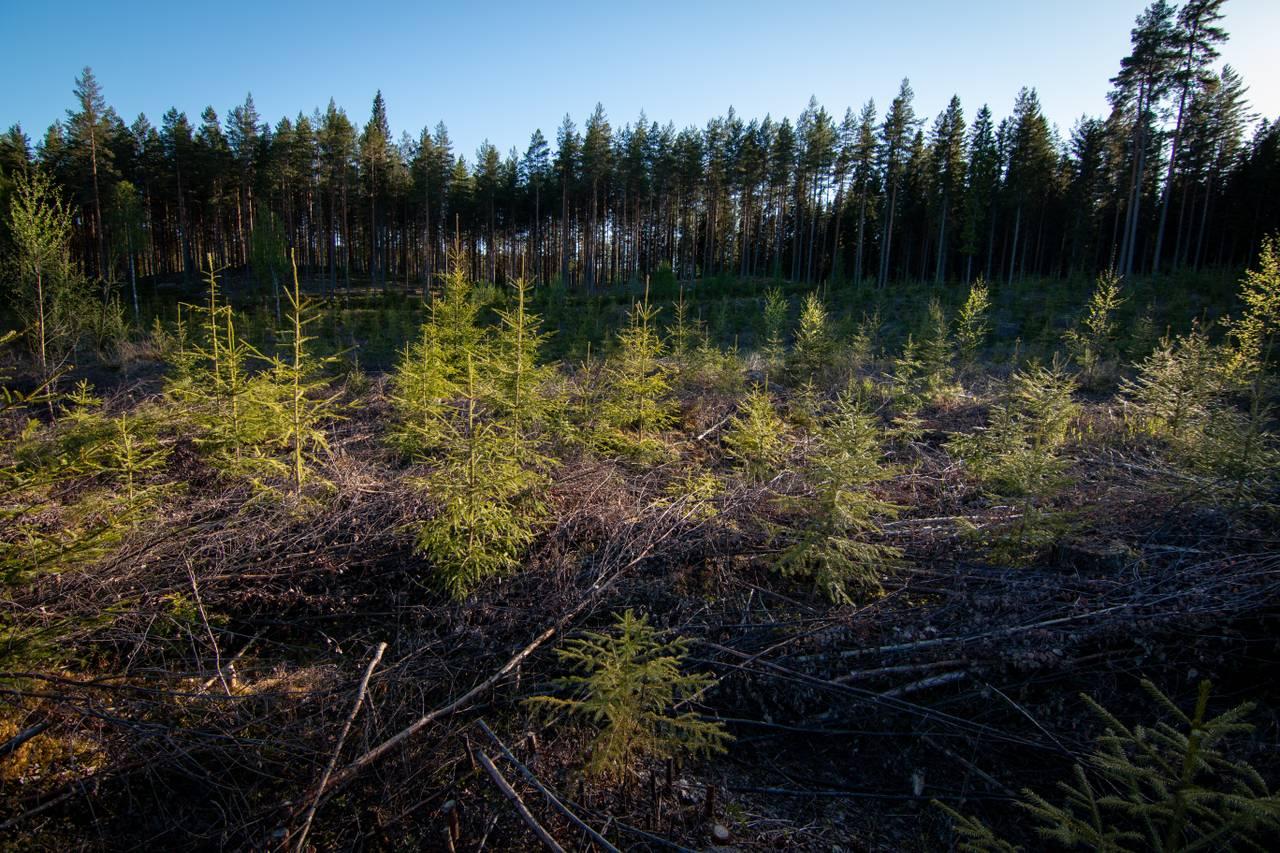 Nyplantede grantrær på rekke og rad. De ser ut som små juletrær. De vokser opp fra en masse tørre kvister på bakken. Sola skinner gjennom de.