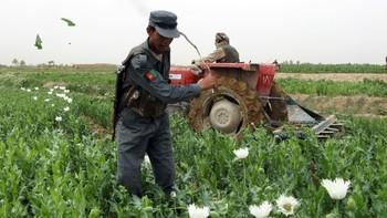 Opiumsåkre i Afghanistan