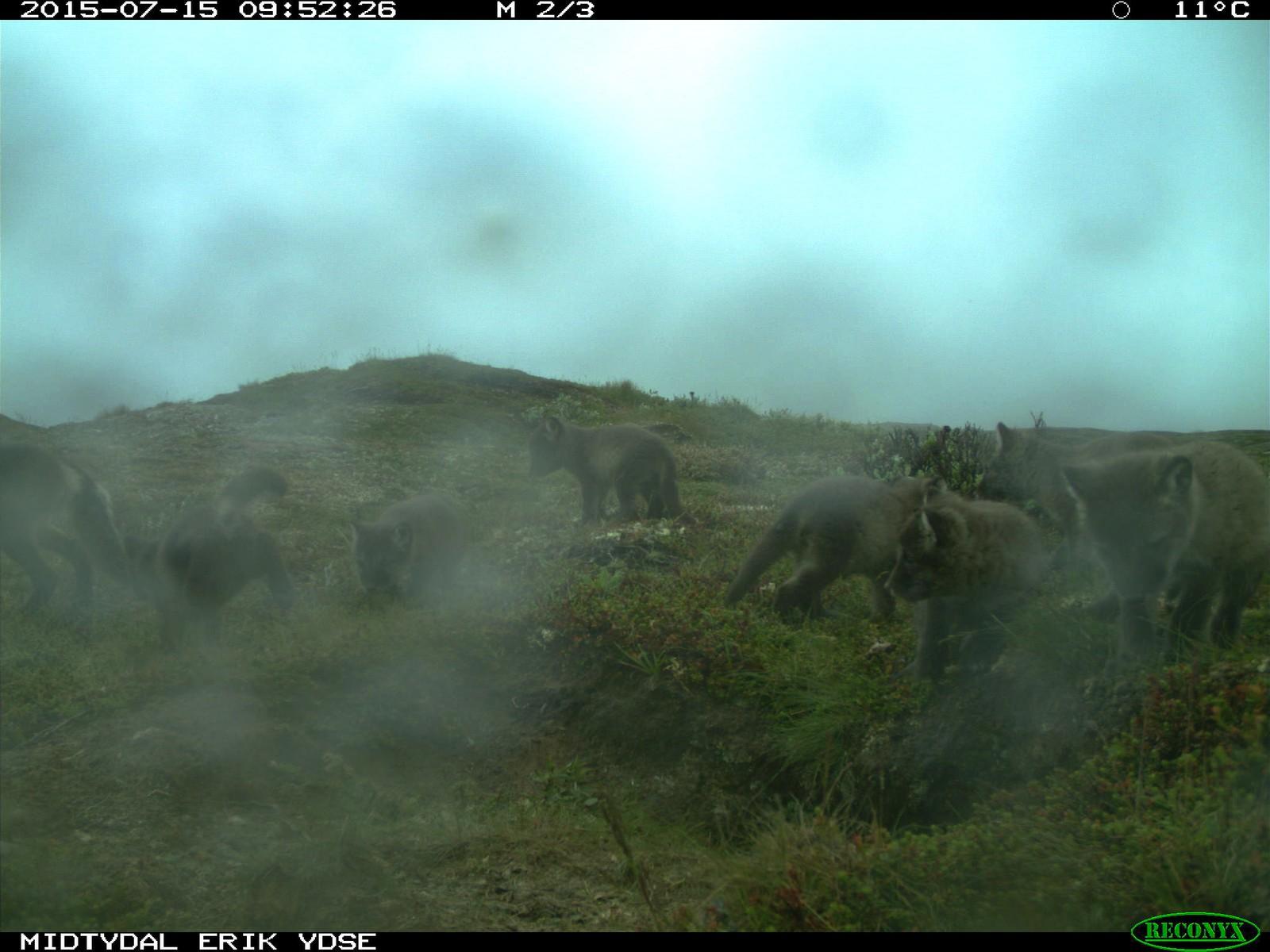 Beviset på at minst sju valper ble født i Forollhogna nasjonalpark i sommer - klarer du å telle sju små og en voksen?
