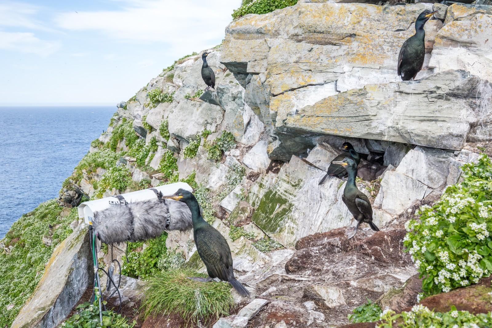 Hos toppskarven er det hektisk aktivitet, og ofte svært mange fugler i samme område.
