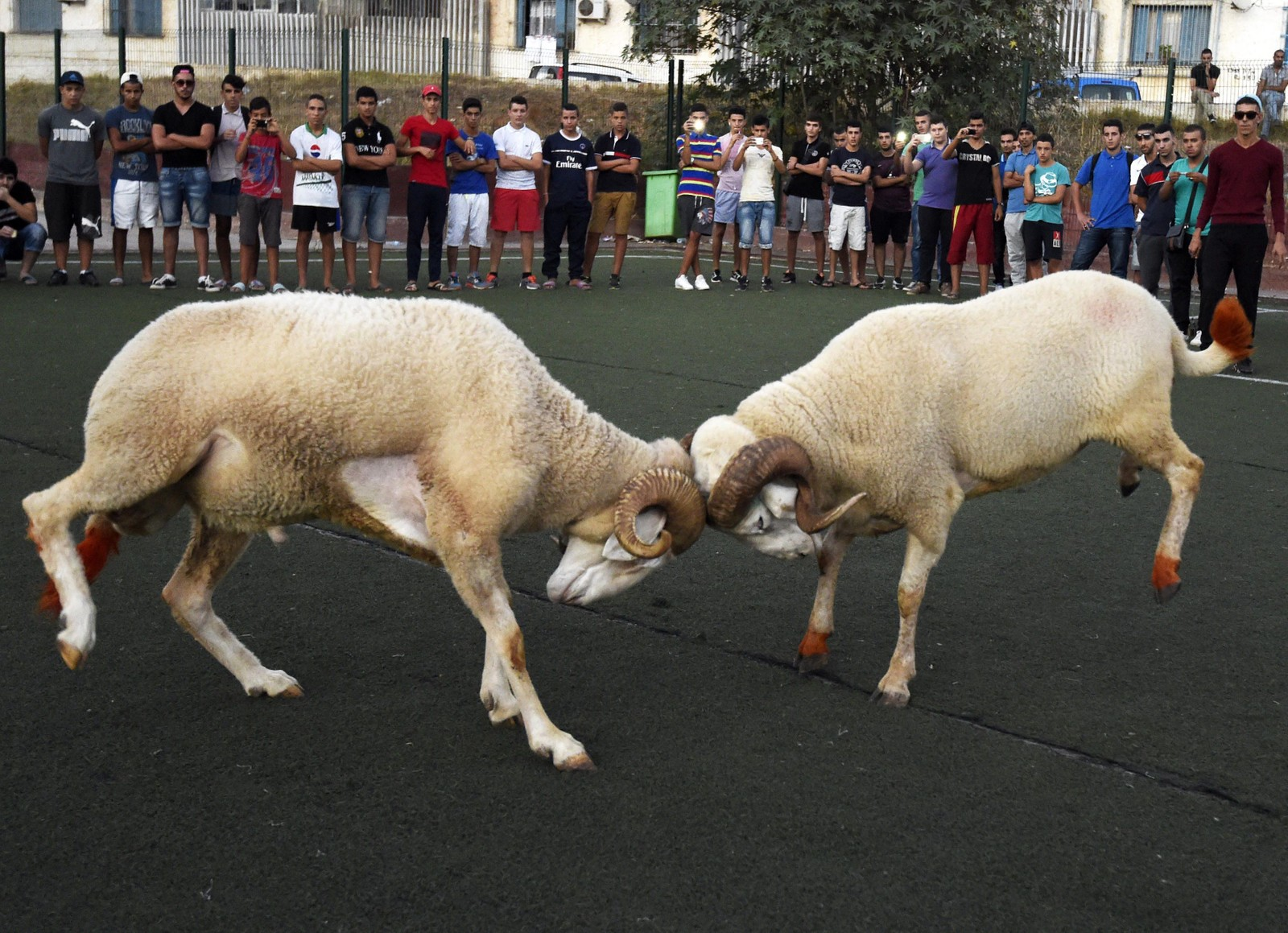 Disse bukkene barker sammen som en del av Eid-feiringa i Algerie.