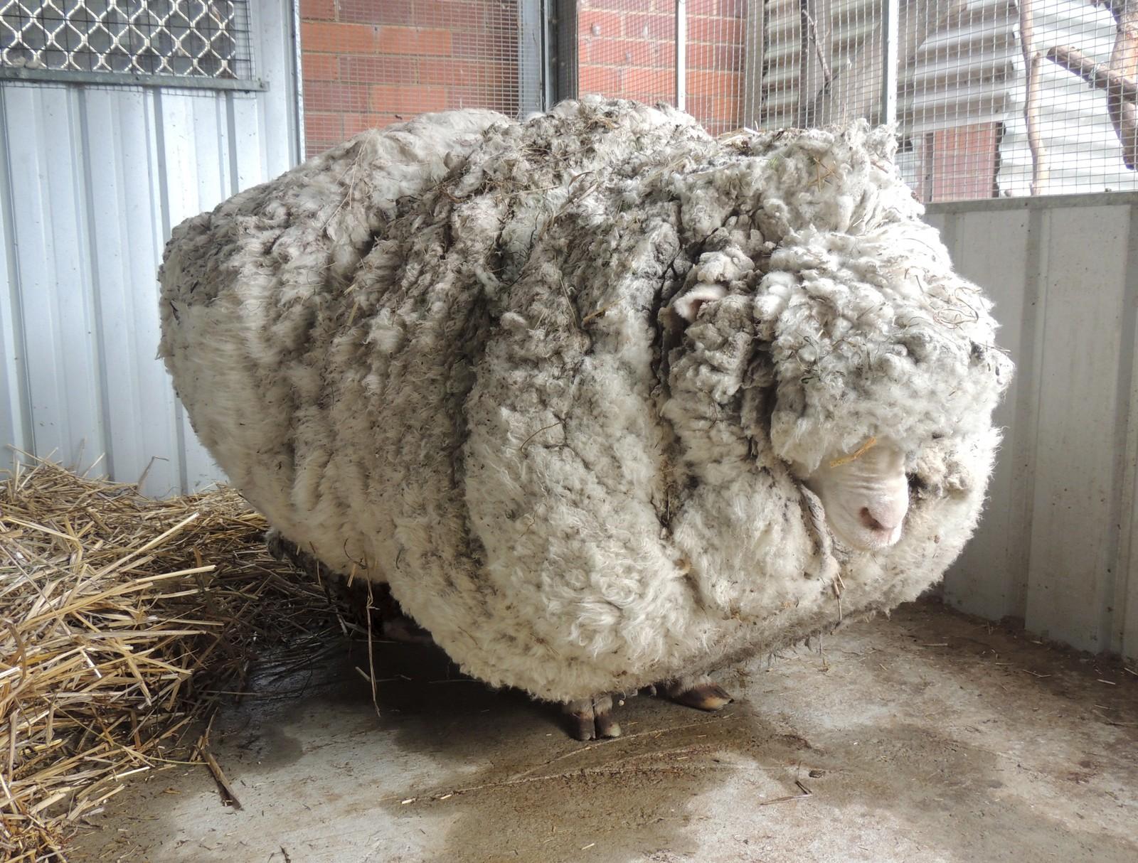 Den australske sauen Chris har gått verden rundt etter at han dukket opp i nærheten av Canberra. Fem år var gått siden han forsvant, og var da verdt sin vekt i ull. 40 kilo måtte klippes av Chris, noe som førte til at han kunne bevege seg atskillig lettere.