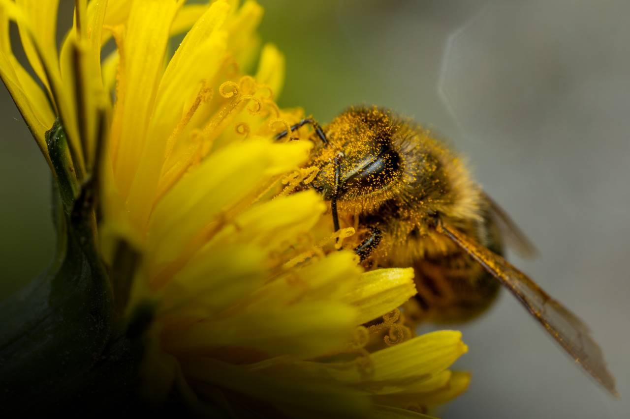 Den kjente, hårete honningbien er på en hestehov. Den er dekt av bittesmå pollenkorn. Du ser fasettøynene. De er ikke runde som på de fleste insektene, men avlange og dråpeformede.