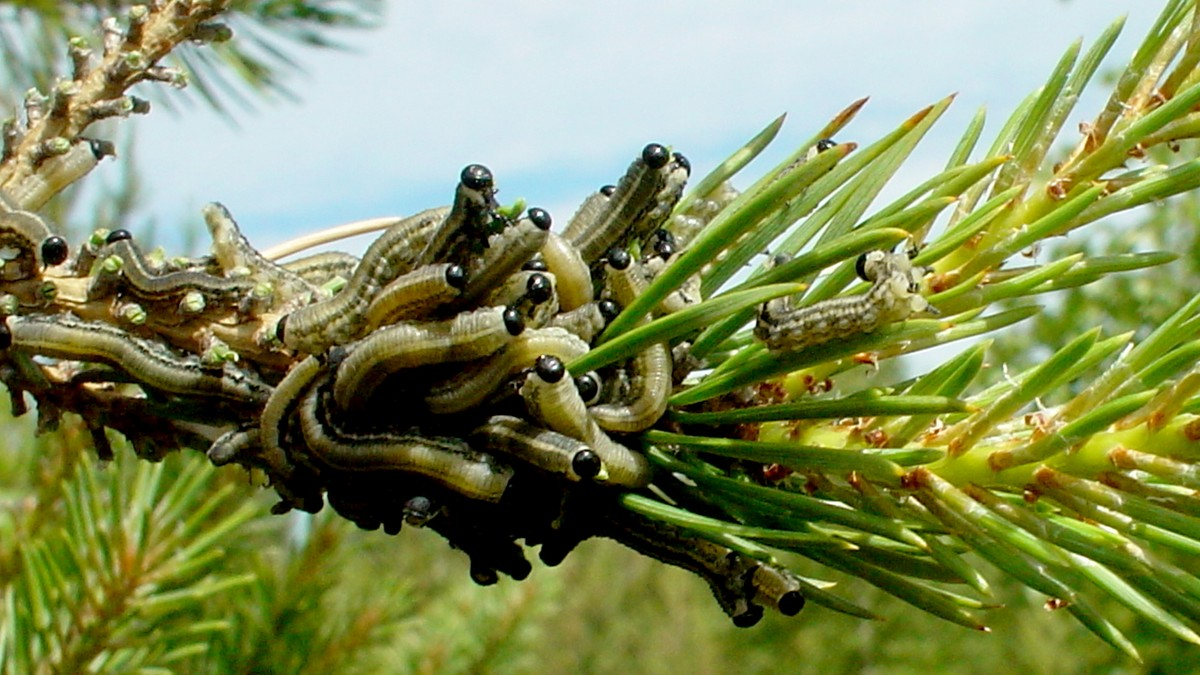 Skogspisende larve har invadert trærne