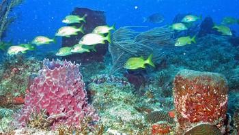Gryntefiskar sym rundt svampar og korallar utanfor kysten av Puerto Rico.