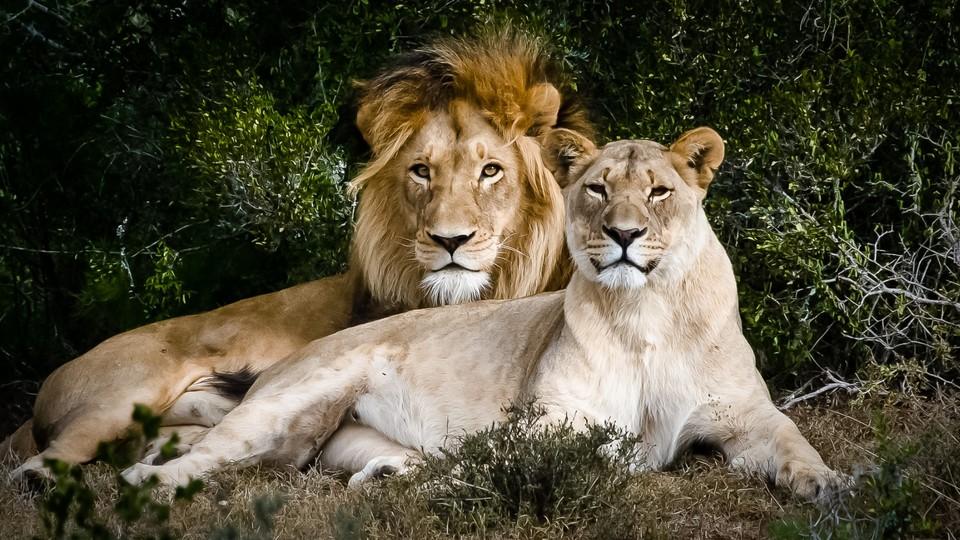 Løvehjerter