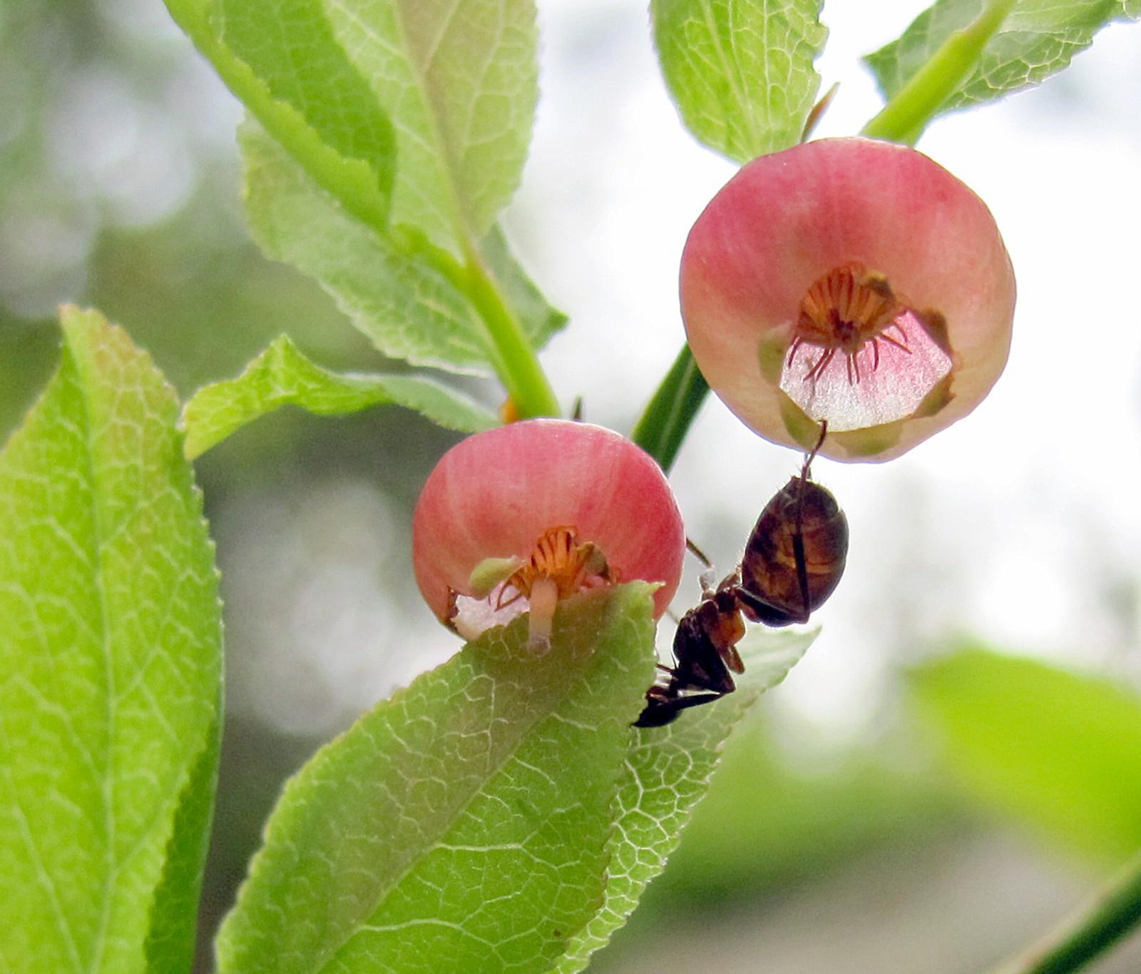 Maur og blåbærblomster.
