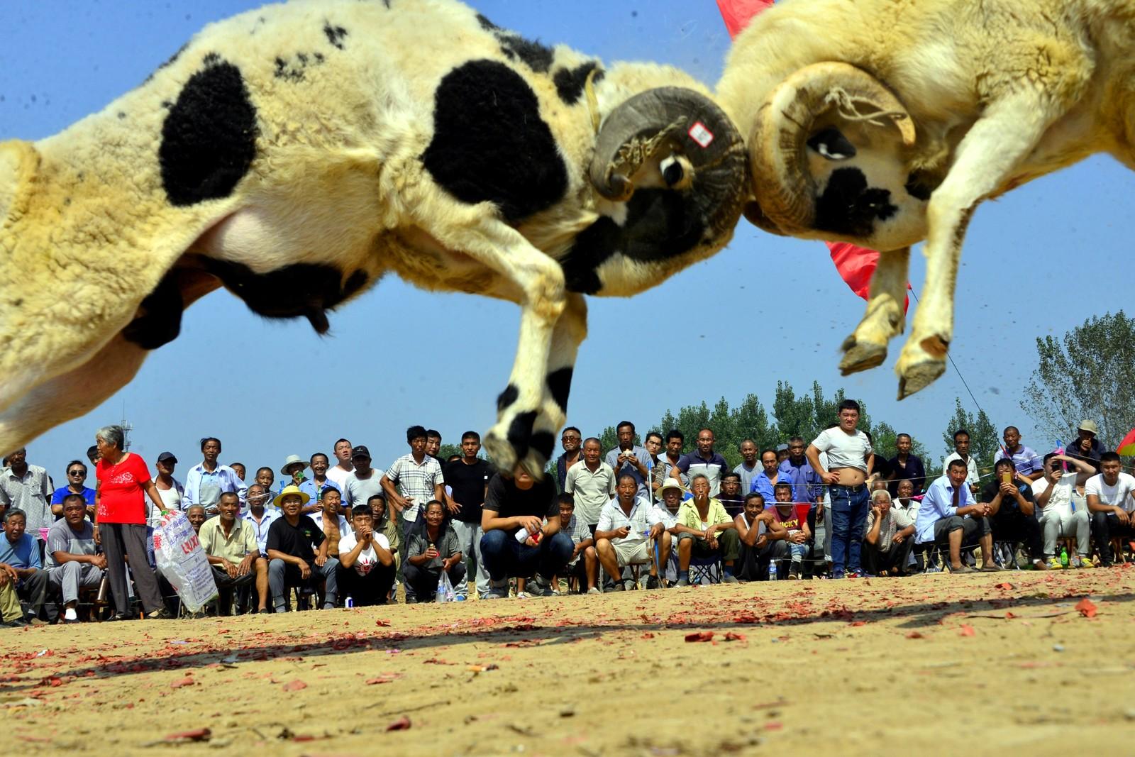 Folk ser på sauekamp på et arrangement i Liaocheng i Kina.