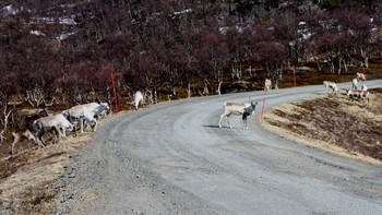 Svensk rein på Lenvikhalvøya