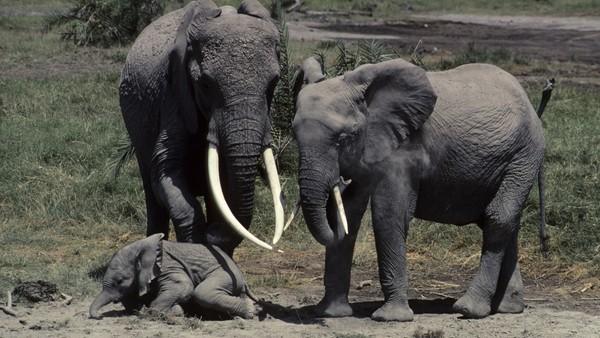 Elefanten Echo - verdens beste mor