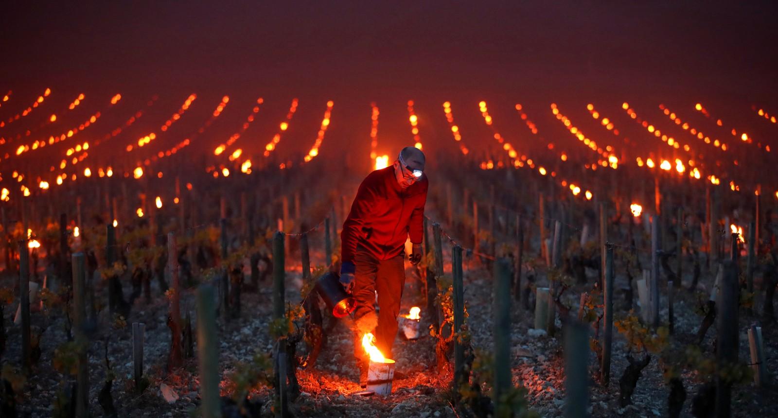 En mann forsøker å hjelpe vindruerankene i kampen mot frosten en tidlig morgen utenfor Chablis i Frankrike.