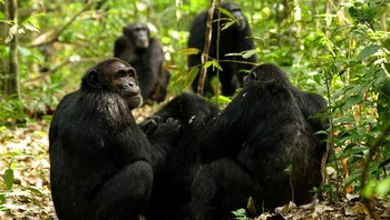 Sjimpanser