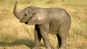 Om den afrikanske elefanten
