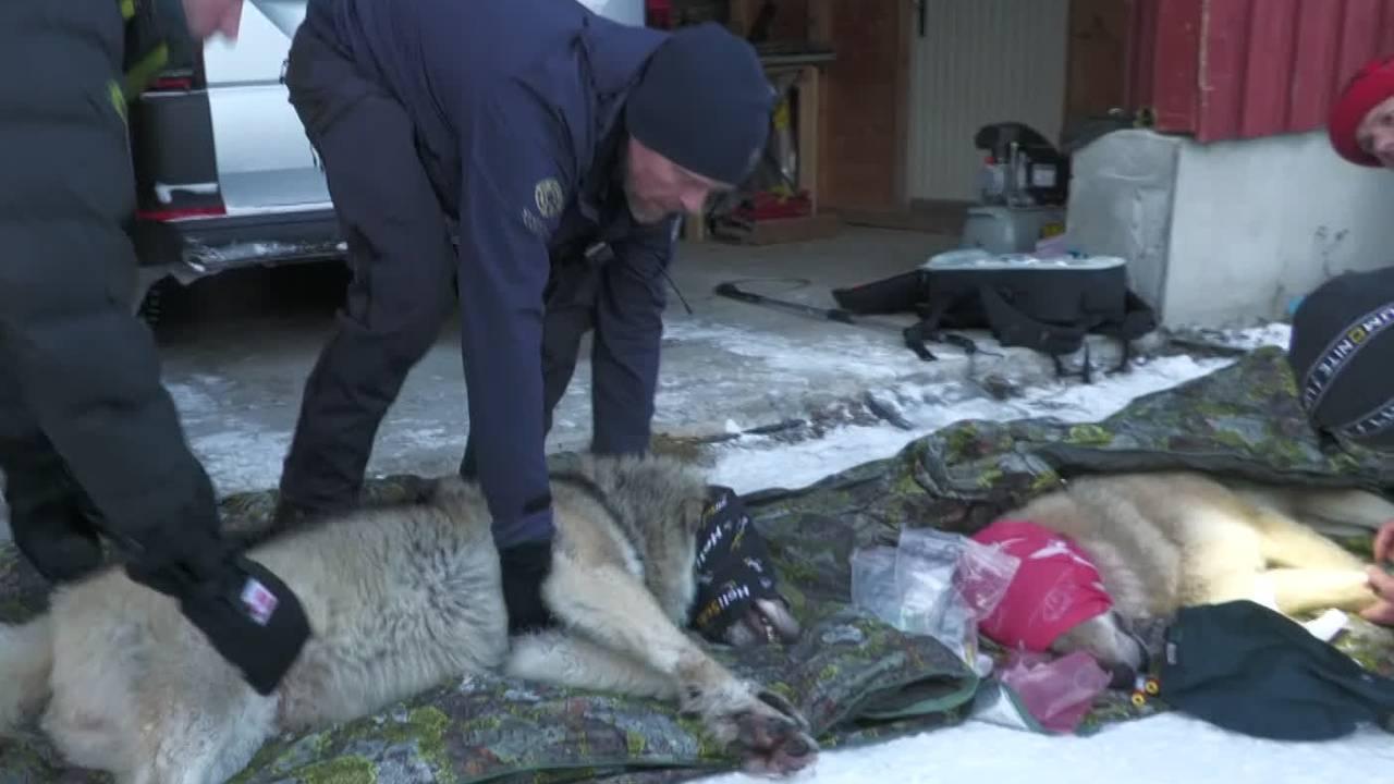 Elgå-ulven blir flyttet fra Østerdalen til Østfold