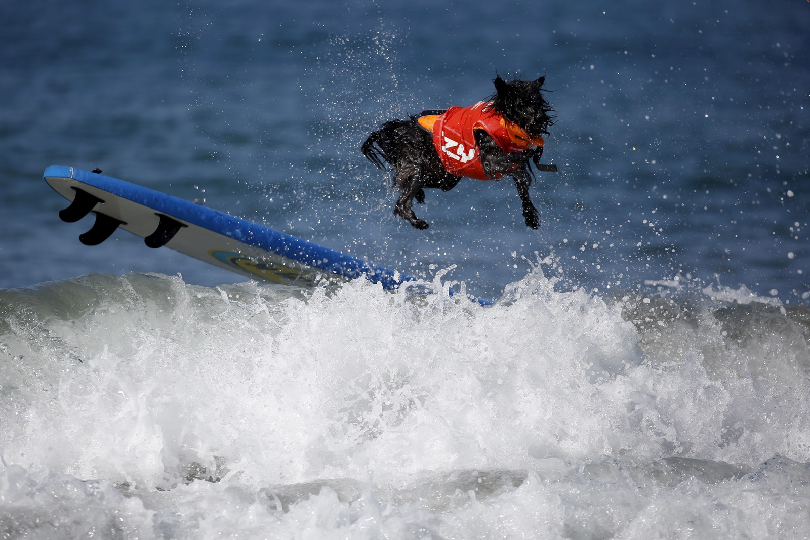 Det kan ikke være lett å holde seg på fire bein i denne surfekonkurransen for hunder i Huntington Beach, California.