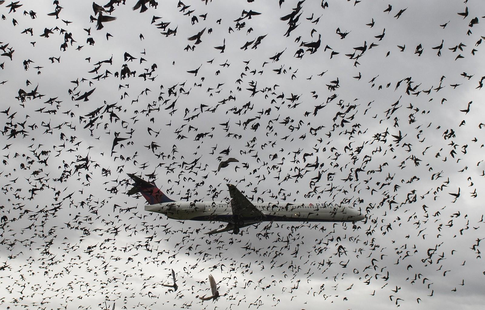 En flokk av fugler omringer tilsynelatende Delta-flyet mens det lander på Reagan-flyplassen i Washington D.C. De mange fuglene har ført til flere nesten-ulykker opp gjennom årene.