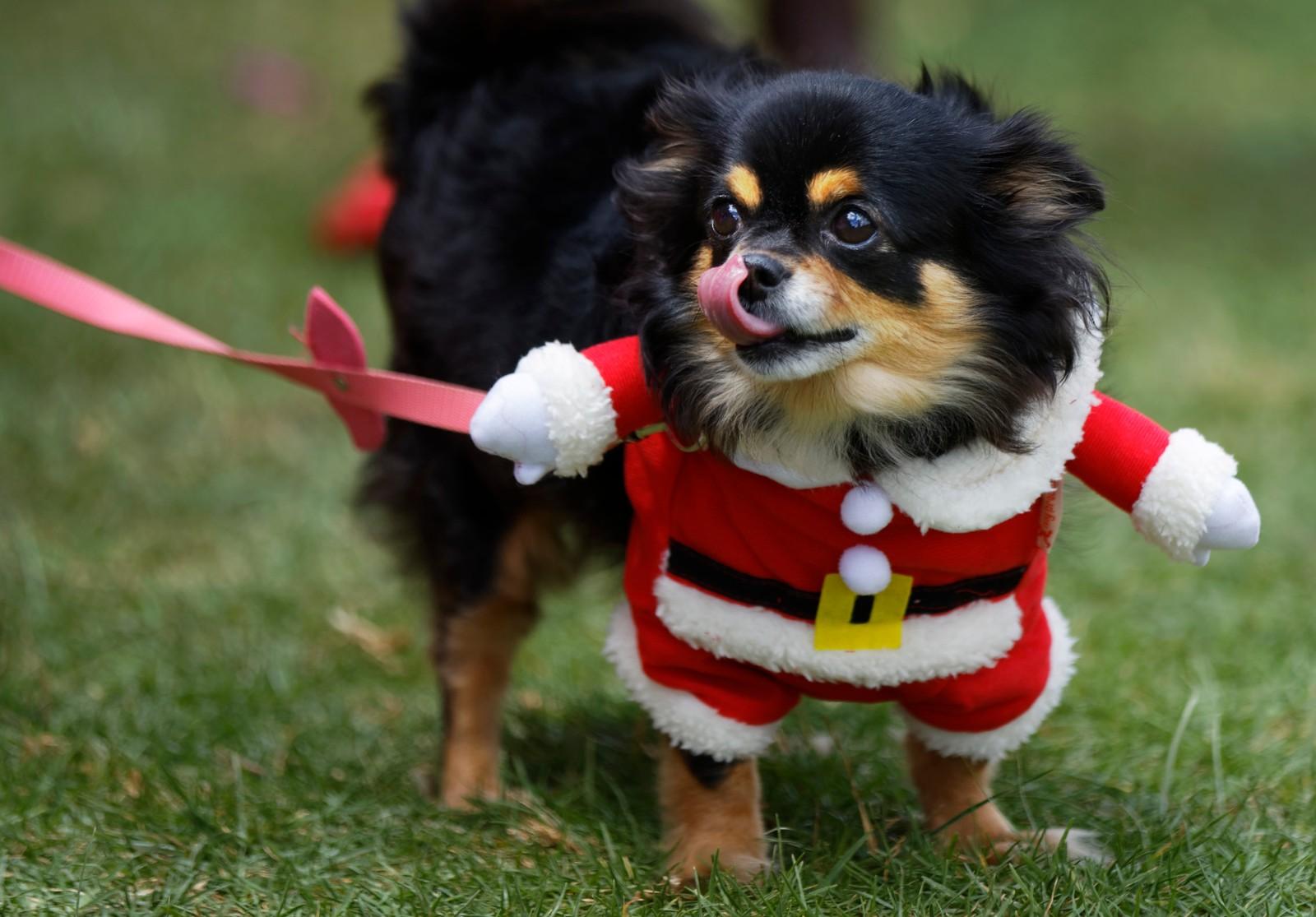 """Chica, en seks år gammel chihuahua, har juleantrekket klart. Hun er med på en utstilling i Nairobi i Kenya. En av kategoriene hundene konkurrerer i er """"flottest kledd""""."""