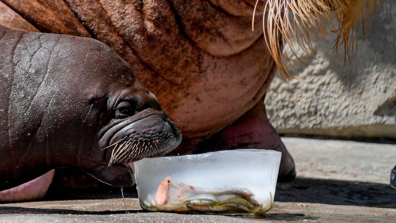Hvalross spiser fiskeis