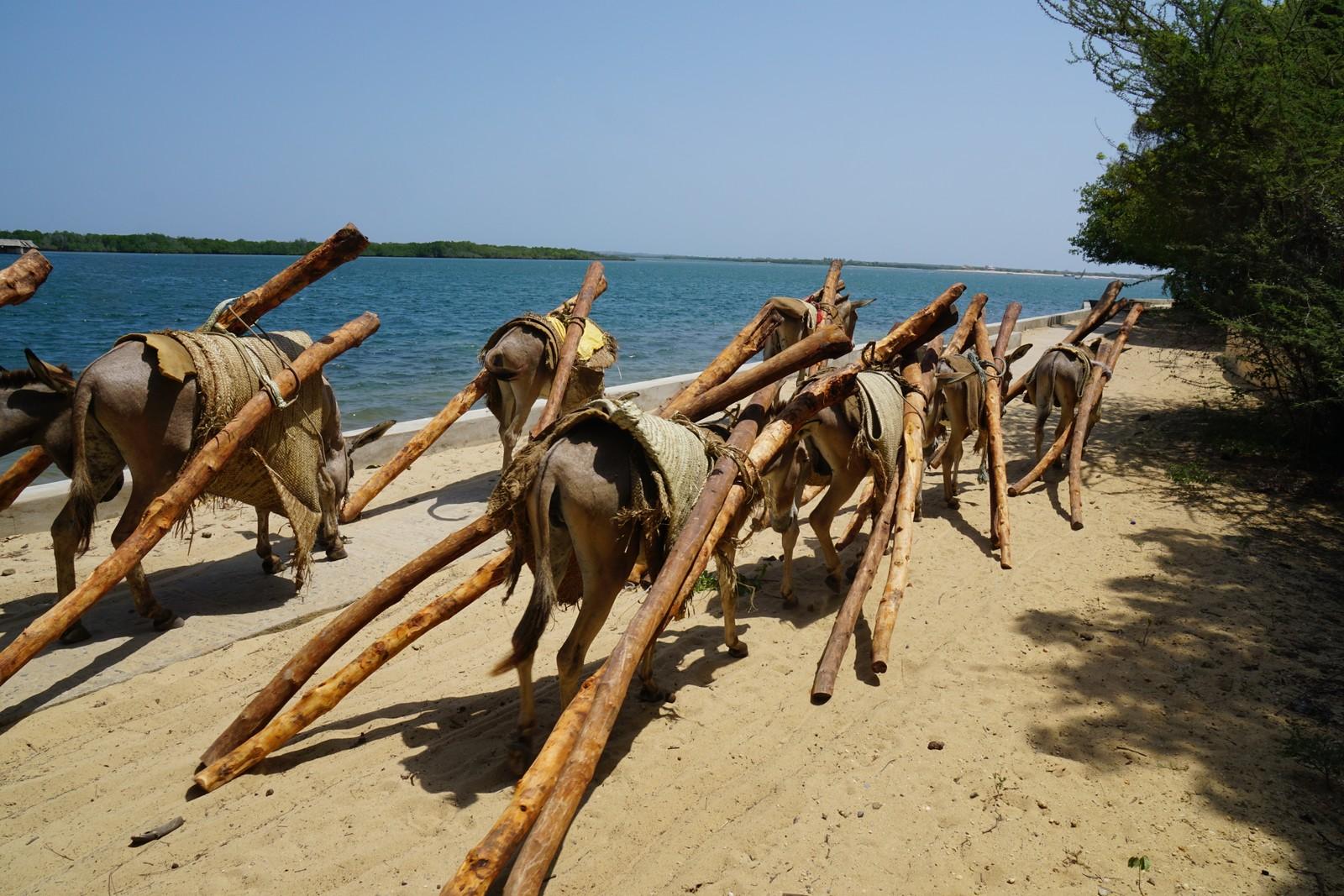 Mangrovestokker fraktes fra hovedstaden på Lamu til Shela.