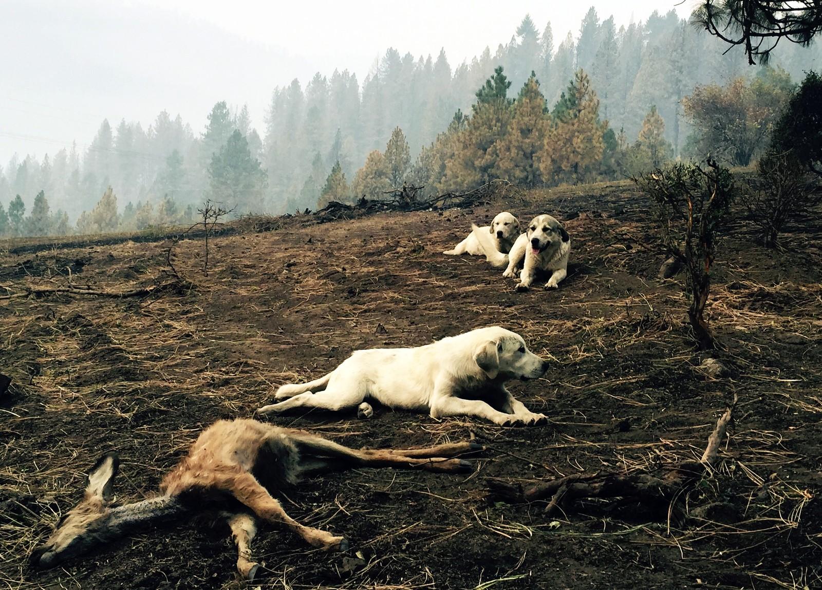 En fårehund vokter over en død hjortekalv i Idaho, USA. Vitner sier at hunden og valpene holdt rovdyr og mennesker unna det døde dyret i flere timer. Kalven mista livet i en av de mange brannene som har rammet den nordre delen av staten.