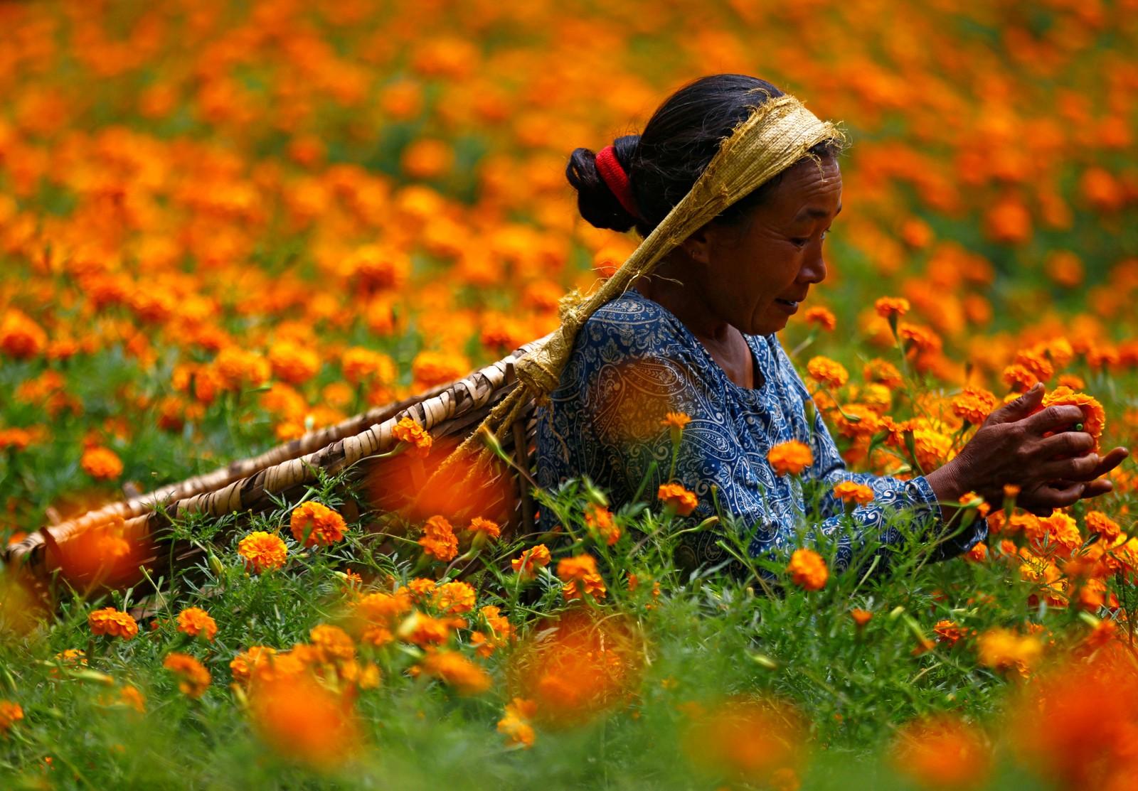 Hun plukker fløyelsblomster som hun skal bruke til å lage kranser. De skal hun senere selge under Tihar-festivalen i Kathmandu i Nepal.