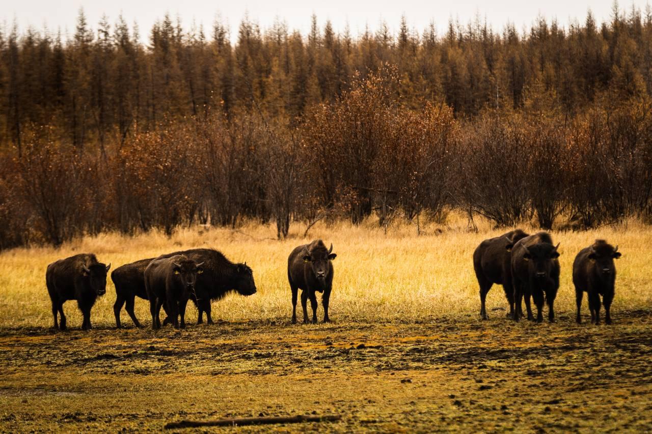 Bisonokser beiter i Pleistoscene Park, Sibir