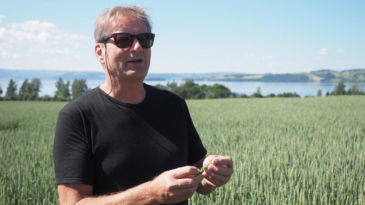 Sommerværet gir kornbønder tro på rekordavlinger