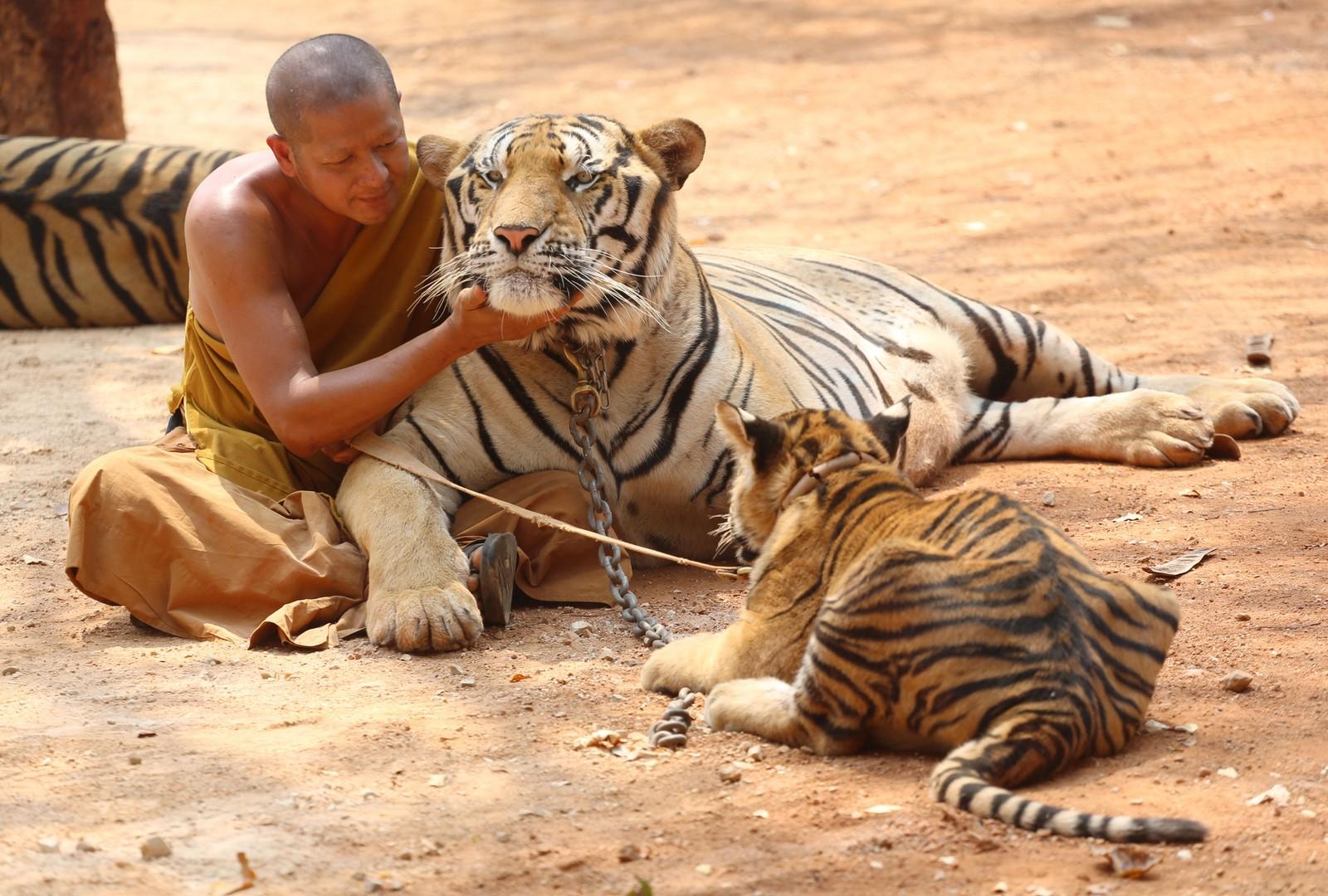 En munk med en tigre i tigertempelet, 12. februar, 2015.
