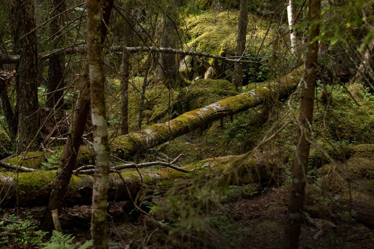 En veldig gammel skog. Døde trær ligger over den mosekledde bakken. Til og med de døde trærne er dekt av mose, og fremstår som vakre. Man kan se at det ikke har vært mennesker der på lang stund. Alt er veldig grønt og villt.