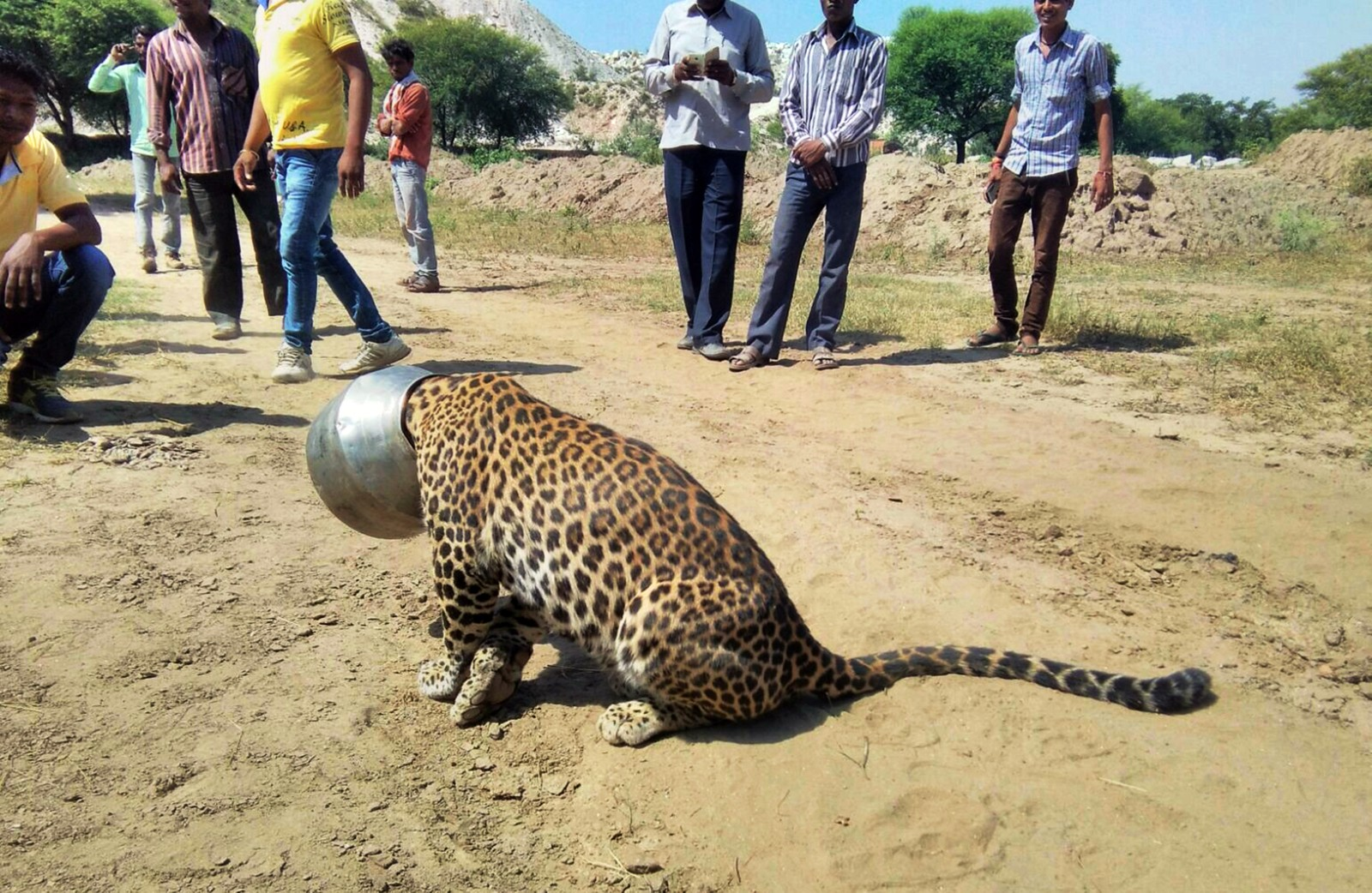 Denne uheldige leoparden satte hodet fast i en melkekrukke da den prøvde å slukke tørsten. Ved hjelp av bedøvelsespiler og sag fikk skogvoktere fjernet krukka fra dyret.